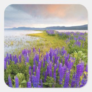 Un campo de los wildflowers del Lupine en la Calcomania Cuadradas Personalizadas