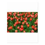 Un campo de tulipanes rojos postal
