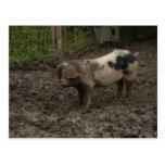 Un cerdo en suciedad tarjetas postales