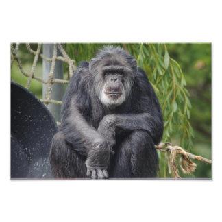 Un chimpancé que se sienta y foto el mirar fijamen
