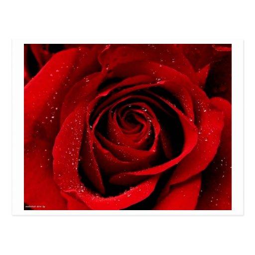 Un color de rosa en postal de la floración