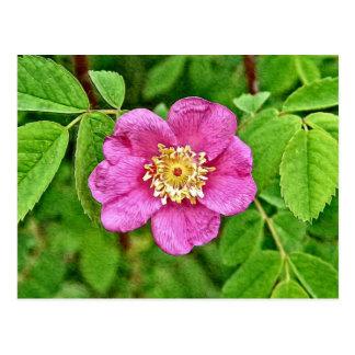 Un color de rosa salvaje tarjeta postal