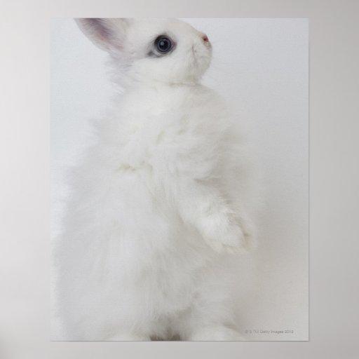 Un conejo blanco. Jersey Wooly. Póster