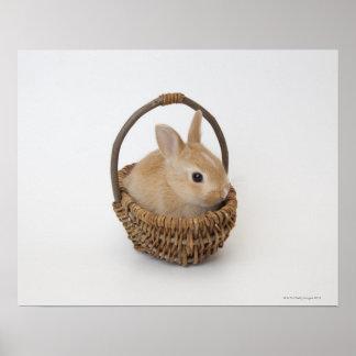 Un conejo está en una cesta. Enano de Netherland Póster