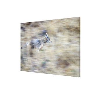 Un coyote corre a través de la ladera que mezcla impresiones de lienzo