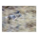 Un coyote corre a través de la ladera que mezcla tarjetas postales