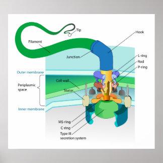 Un diagrama bacteriano gramnegativo del flagelo póster