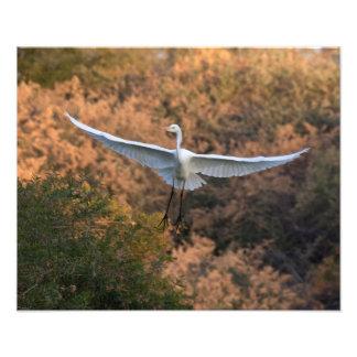 Un Egret vuela Fotografía