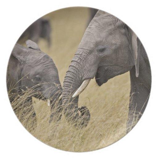 Un elefante africano que pasta en los campos del plato de comida
