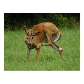Un estimado Deer Itch Tarjetas Postales