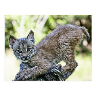 Un gatito canadiense juguetón del lince tarjetas postales