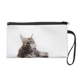 Un gatito del gato de Coon de Maine