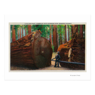 Un gigante caido, parque de estado de Humboldt Tarjeta Postal