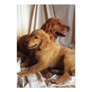 Un golden retriever más viejo y un perrito contra impresiones fotográficas