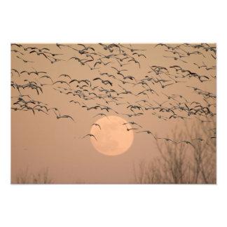 Un grupo de gansos de nieve migratorios, Grus Fotografía