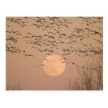 Un grupo de gansos de nieve migratorios, Grus Postal