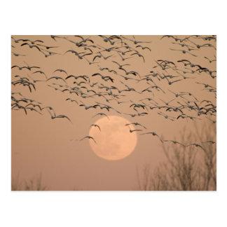 Un grupo de gansos de nieve migratorios, Grus Tarjetas Postales