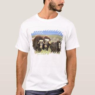 Un grupo de muskoxen hojea en arbustos del sauce playera