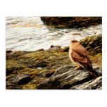 Un halcón - Tierra del Fuego, la Argentina Tarjetas Postales