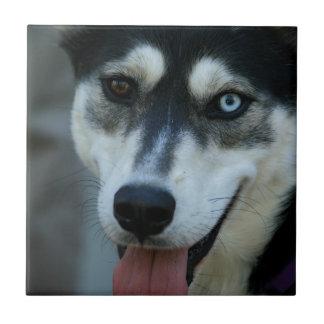 Un husky siberiano hermoso del ojo azul azulejo cuadrado pequeño