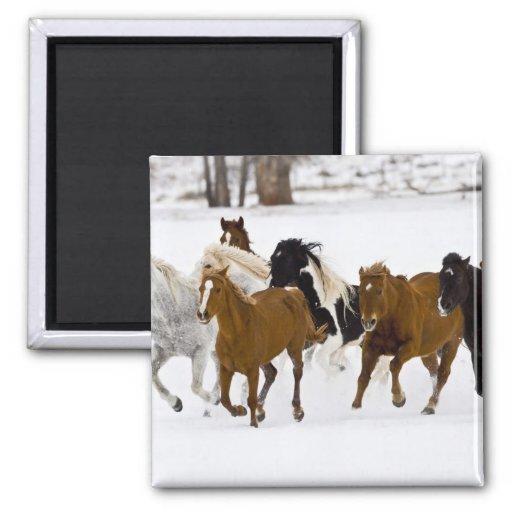 Un invierno escénico de caballos corrientes en imán cuadrado