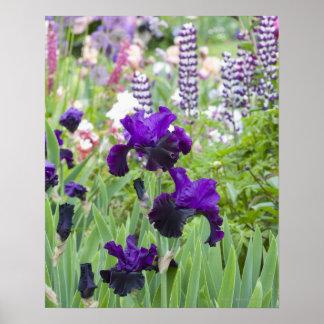 Un iris de la púrpura florece brillantemente en la póster