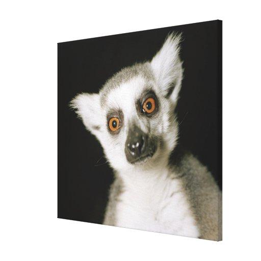 Un lemur. lona envuelta para galerías