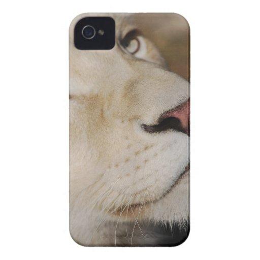 Un león apacible iPhone 4 Case-Mate cárcasa