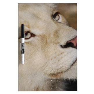Un león apacible pizarras blancas de calidad