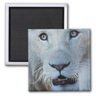 Un león blanco en África Imán Cuadrado
