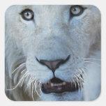 Un león blanco en África Colcomanias Cuadradas Personalizadas