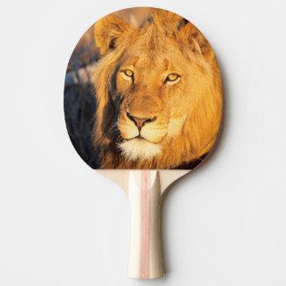 Un león crinado rojo que mira la cámara pala de tenis de mesa