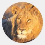 Un león crinado rojo que mira la cámara etiquetas redondas