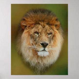 Un león majestuoso póster