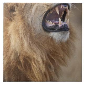 Un león masculino maduro (Panthera leo) en el Azulejo Cuadrado Grande