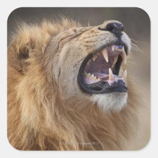 Un león masculino maduro (Panthera leo) en el Calcomania Cuadradas Personalizada