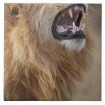 Un león masculino maduro (Panthera leo) en el Savu Azulejo Cerámica