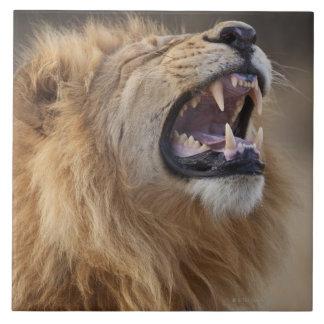 Un león masculino maduro (Panthera leo) en el Savu Azulejo Cuadrado Grande