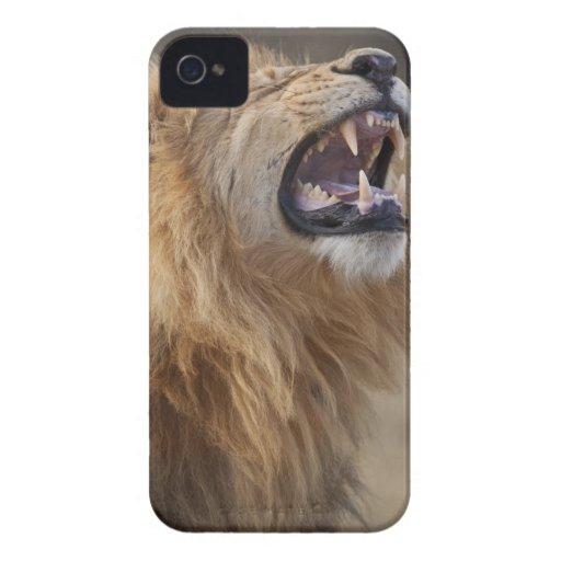 Un león masculino maduro (Panthera leo) en el Savu iPhone 4 Coberturas