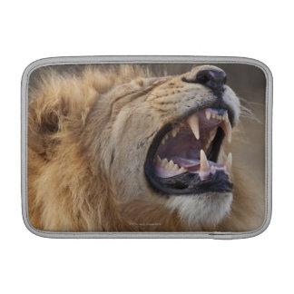 Un león masculino maduro (Panthera leo) en el Savu Funda MacBook