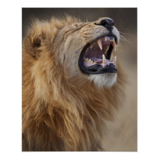 Un león masculino maduro (Panthera leo) en el Savu Impresiones