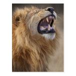 Un león masculino maduro (Panthera leo) en el Postal