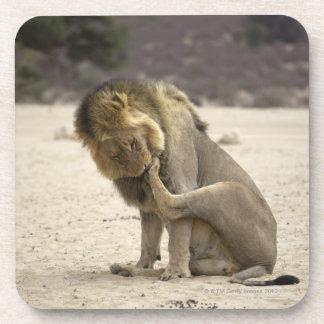 Un león que limpia su pata trasera, Kgalagadi Posavaso