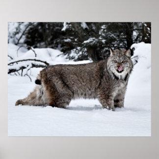 Un lince canadiense hambriento en la nieve póster