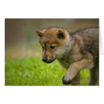 Un lobo del bebé felicitación