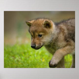 Un lobo del bebé póster