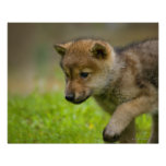 Un lobo del bebé posters