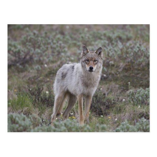 Un lobo gris joven trota a través de la tundra postal