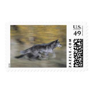 Un lobo negro en el funcionamiento franqueo