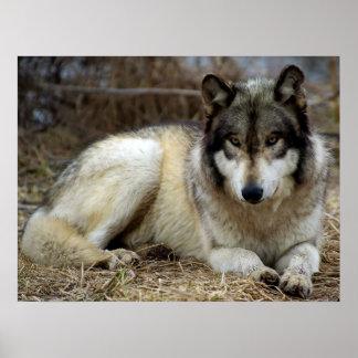 Un lobo que espera y que mira impresiones